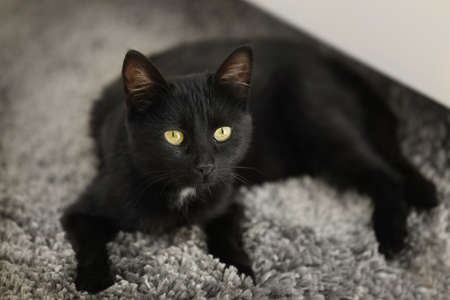 Cute black cat lying on carpet at home