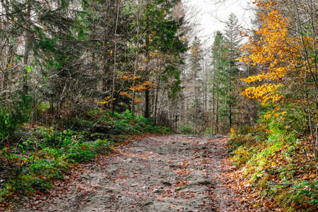 Track in the wild Carpathians forest