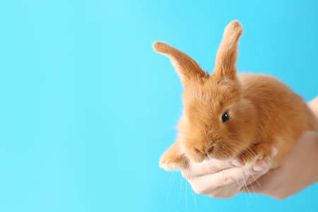 Female hands holding a cute foxy rabbit on blue background