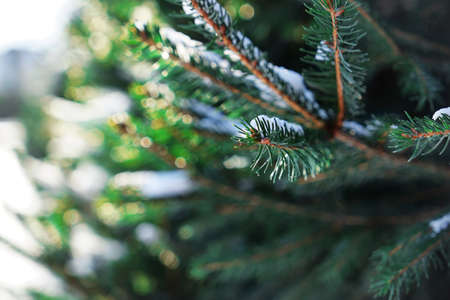 Close up view of coniferous branch covered with snow