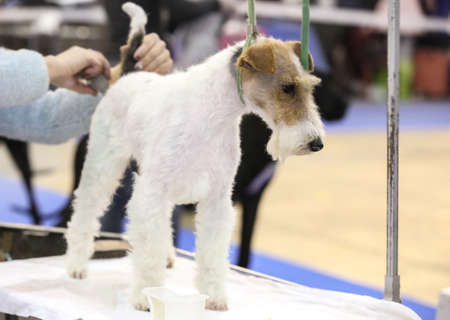 Owner taking care of dog hair at show