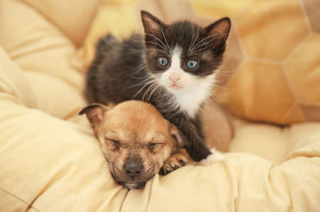 Cute little kitten and puppy on pillow at home