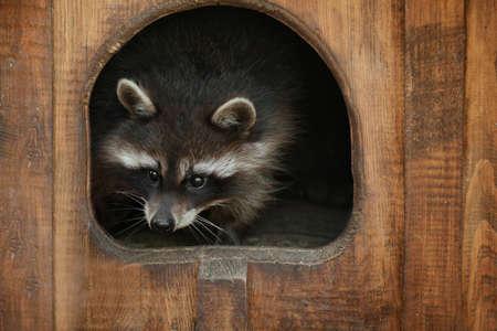 Cute funny raccoon in zoological garden