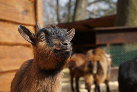 Cute funny goat in zoological garden