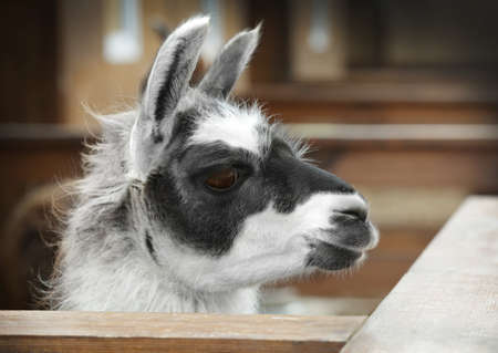 Cute funny lama in zoological garden, closeup Stock Photo