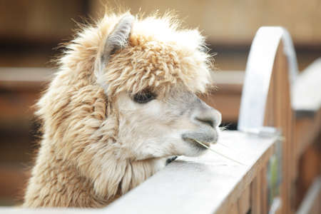 Cute funny alpaca in zoological garden, closeup Foto de archivo