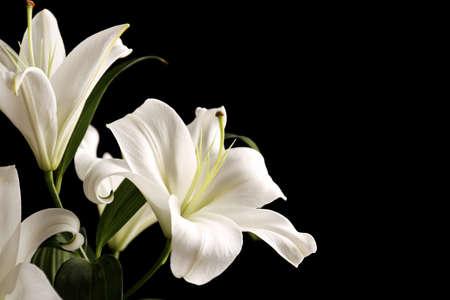 Beautiful white lilies on black background Stock Photo