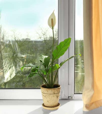 Beautiful home plant on windowsill Stockfoto