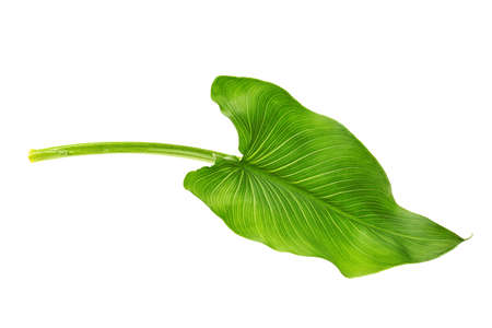 Green leaf on white background Stock Photo
