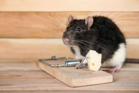 Cute rat and mousetrap with cheese on wooden background Stock Photo