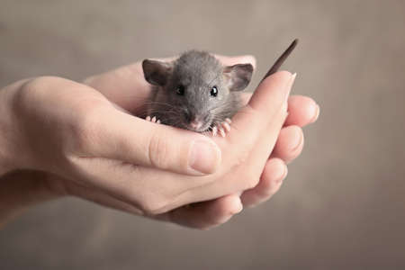 Hands of young woman with cute rat on color background, closeup Stock Photo