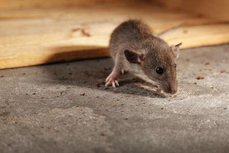 かわいい小さなネズミのスニッフィングパンくず