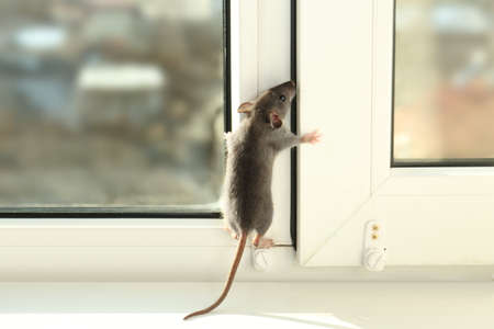 Cute little rat climbing up the window Фото со стока