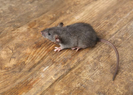 Cute little rat on wooden background