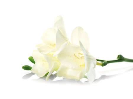 Beautiful blooming freesia on white background