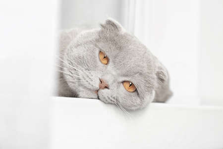 Scottish fold cat lying on windowsill behind curtain Stock Photo