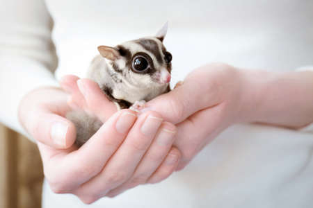 Owner with cute sugar glider at home, closeup