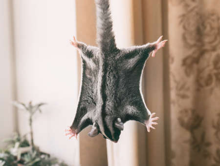 Cute sugar glider at home