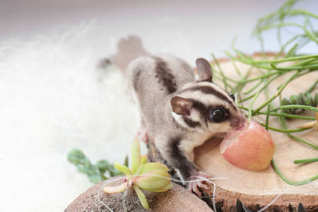 Cute funny sugar glider eating grape while sitting on decorative stub against light background