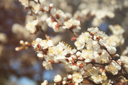 Branches of apricot tree flowers on blurred background