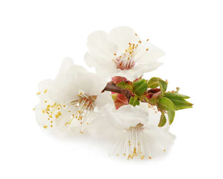 Blossoming branch on white background Stock Photo