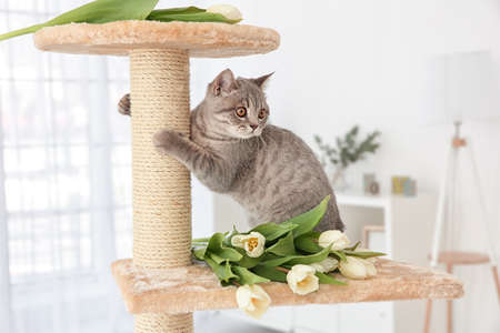 Cute cat sharpening claws on tree with tulips in light room Stock Photo