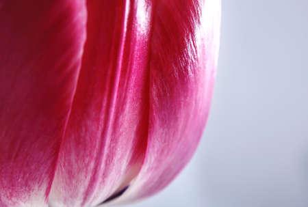 Beautiful tulip flower on white background, closeup