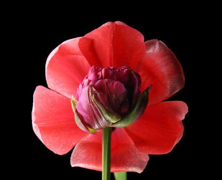Beautiful tulip flowers on black background, closeup
