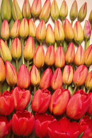 Beautiful tulip flowers, closeup Stock fotó