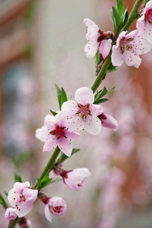 Branch of blossoming fruit tree on blurred background Stock Photo
