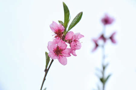 Blossoming twig of fruit tree on white background