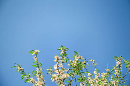 Fruit tree blossom on blue sky background Stock Photo