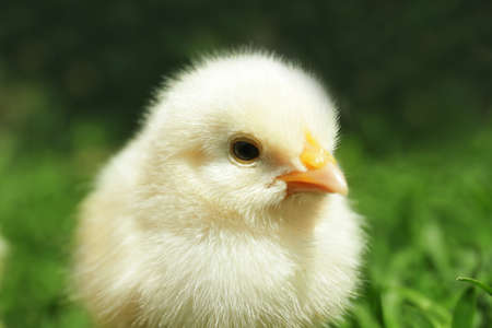 Cute little chick on blurred background