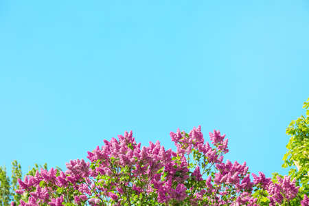 Blooming lilac branches on blue sky background