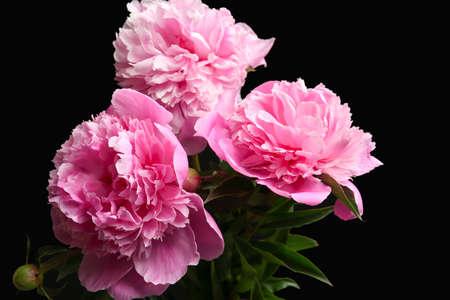 Beautiful peony flowers on dark background, closeup