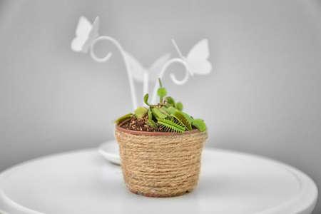 Dionaea muscipula in pot on table