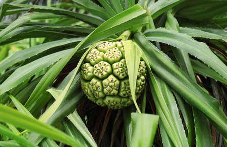 Tropical pandanus plant outdoors