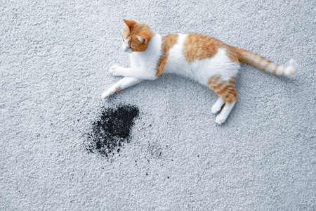 Cat lying near scattered soil on light carpet