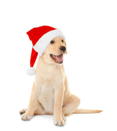 白い背景にサンタクロースの帽子でかわいい犬