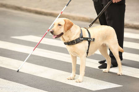 Guide dog helping blind man on pedestrian crossing Фото со стока - 98139817