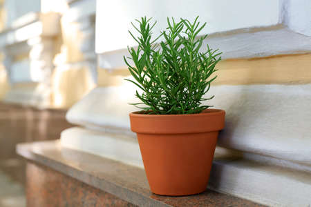 Pot with rosemary on window sill Stock Photo