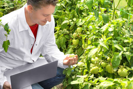 Mature farmer using laptop in greenhouse with tomatoes