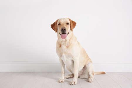 Cute Labrador Retriever sitting on floor against white wall