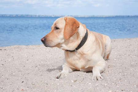 Cute Labrador Retriever on sandy river bank