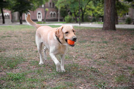 Cute Labrador Retriever playing with ball in park