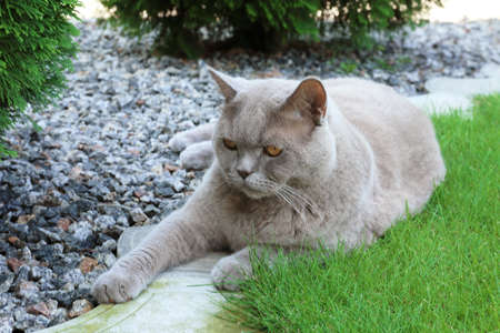 Funny overweight cat lying in garden Stock Photo