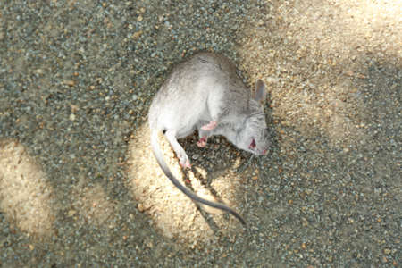 Dead mouse lying on ground outdoors