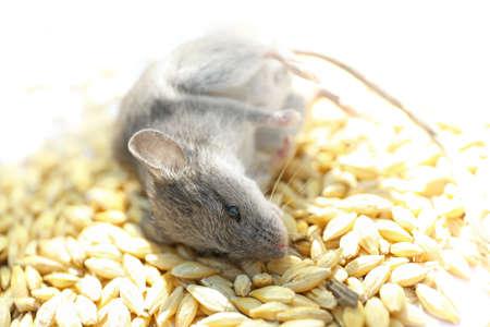 Dead mouse on pile of grain, closeup
