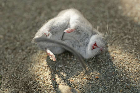 Dead mouse lying on ground outdoors, closeup Stock Photo