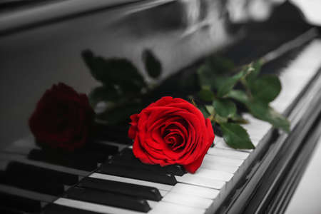 Red rose on piano keys, close up